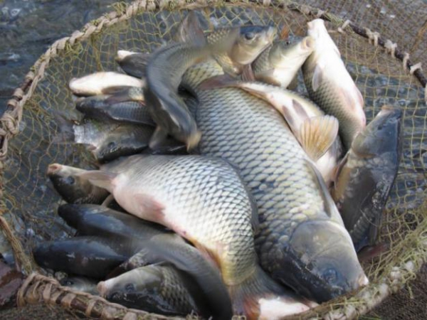 горох на рыбалку видео