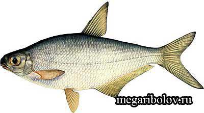 пресноводные рыбы россии фото