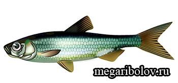 верховка фото рыба